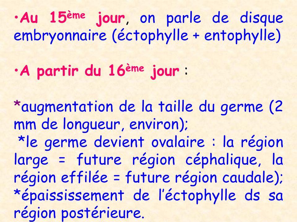 Au 15 ème jour, on parle de disque embryonnaire (éctophylle + entophylle) A partir du 16 ème jour : *augmentation de la taille du germe (2 mm de longu