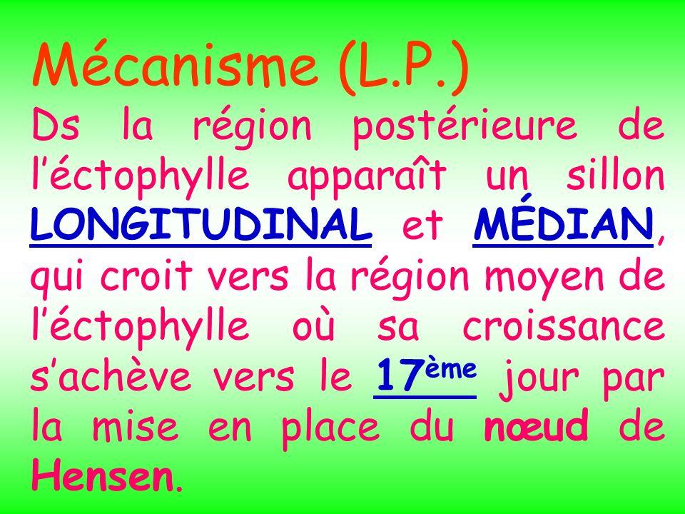 Mécanisme (L.P.) Ds la région postérieure de léctophylle apparaît un sillon LONGITUDINAL et MÉDIAN, qui croit vers la région moyen de léctophylle où s
