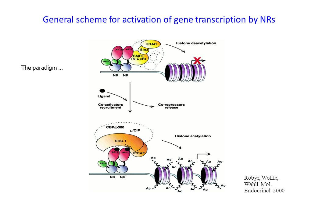 The paradigm … General scheme for activation of gene transcription by NRs Robyr, Wolffe, Wahli Mol. Endocrinol 2000