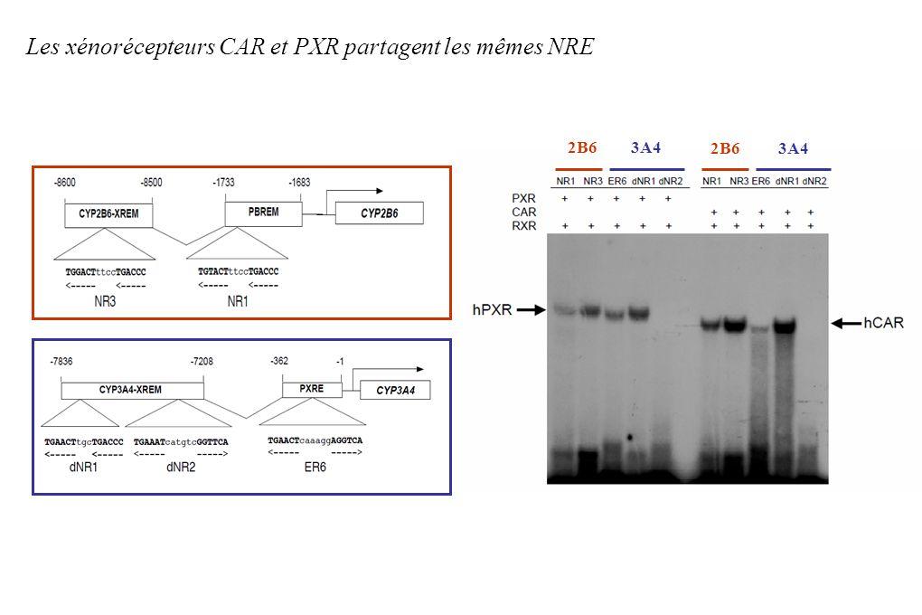 Les xénorécepteurs CAR et PXR partagent les mêmes NRE 2B6 3A4 2B6 3A4