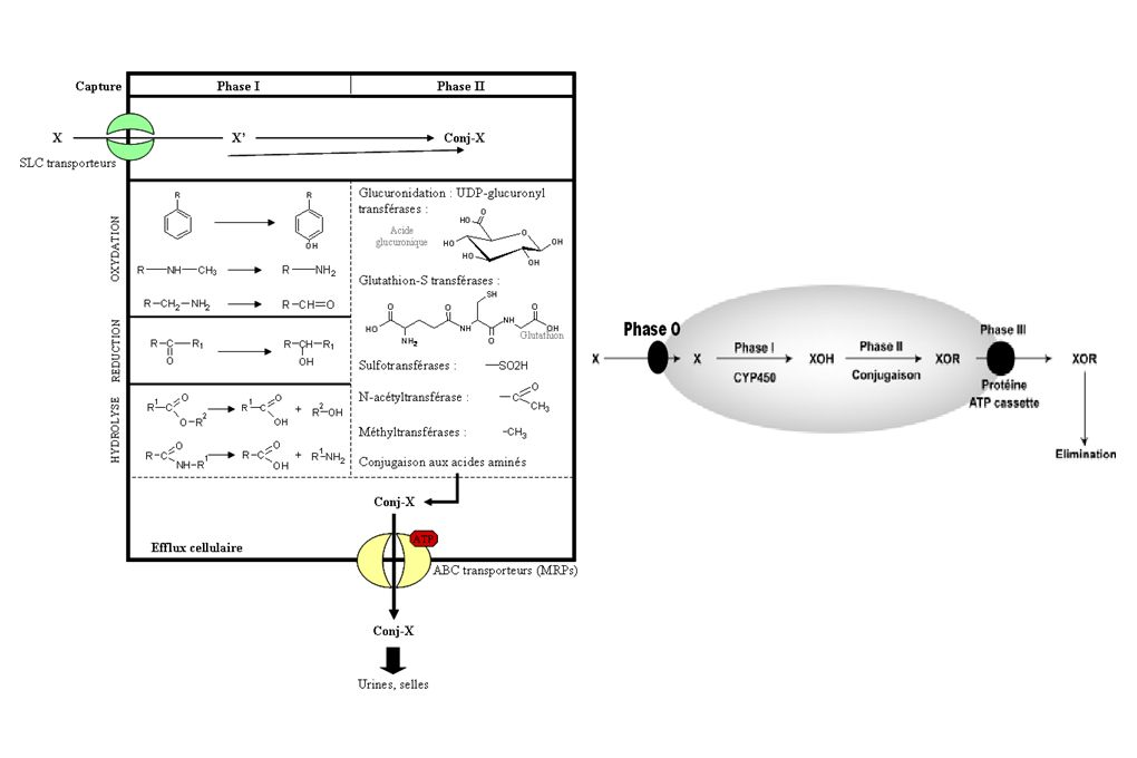 Major Cytochrome P450s involved in the metabolism of clinically used drugs.......