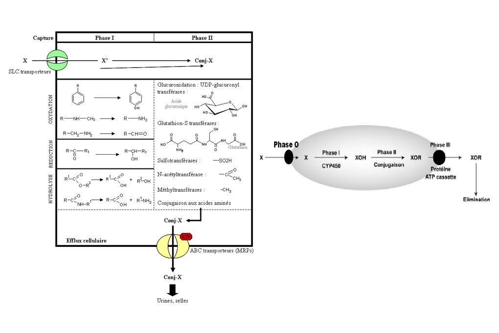 Les xénorécepteurs CAR et PXR Expression Organes de la détoxication: foie (hépatocytes) et tracus digestif (entérocytes) PXRCAR