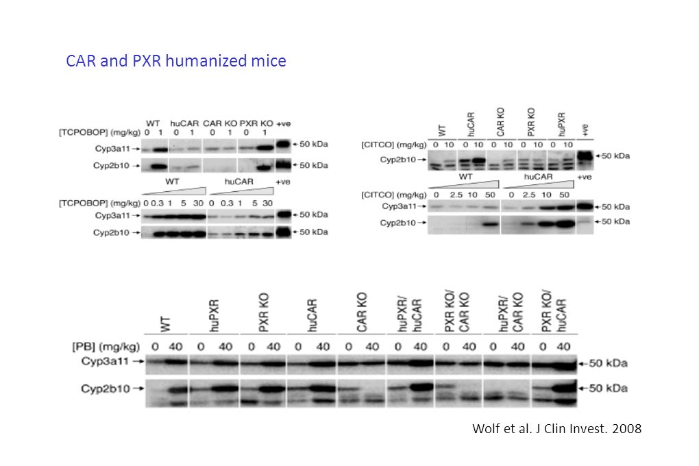 CAR and PXR humanized mice Wolf et al. J Clin Invest. 2008