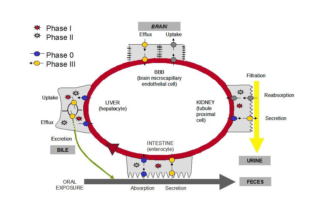 Les xénorécepteurs, sentinelles moléculaires de limmunité métabolique PXR AhR CAR Phase I Phase II Phase III transporteurs métabolisme élimination