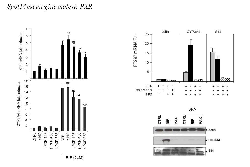 Spot14 est un gène cible de PXR SFN