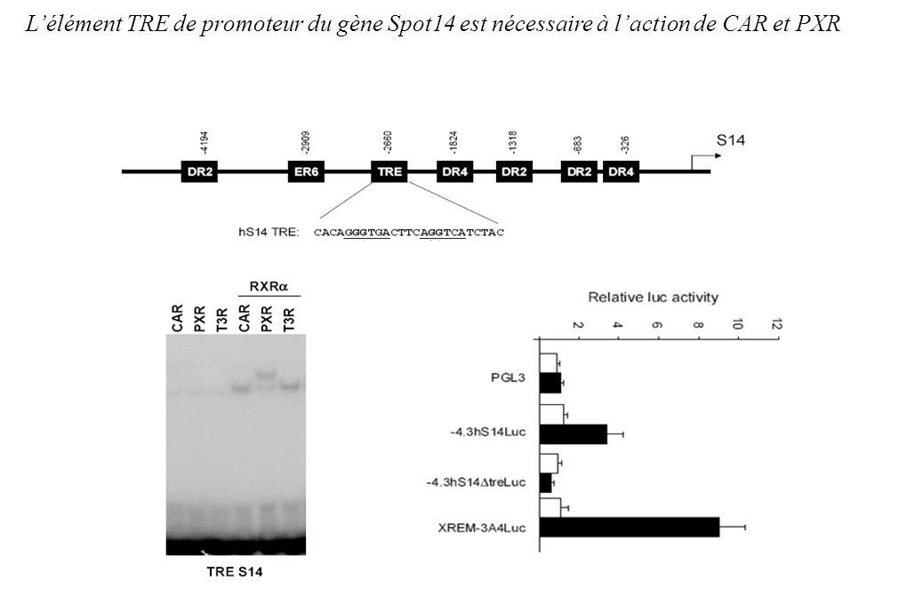 Lélément TRE de promoteur du gène Spot14 est nécessaire à laction de CAR et PXR