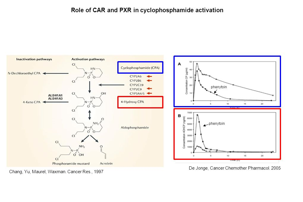 Role of CAR and PXR in cyclophosphamide activation Chang, Yu, Maurel, Waxman. Cancer Res., 1997 De Jonge, Cancer Chemother Pharmacol. 2005 phenytoin