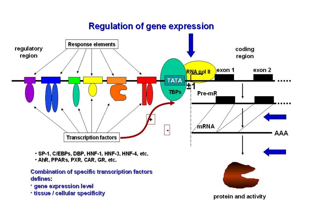Les xénorécepteurs CAR et PXR Gènes Cibles Enzymes et transpoteurs majeurs de la fonction de détoxication entérohépatique OATP2 CYP3A4,5,7 CYP2B6 CYP2C8,9 CYP1A2 UGT1A1,6,9 GSTs SULT2A1 MDR1 MRP2-4