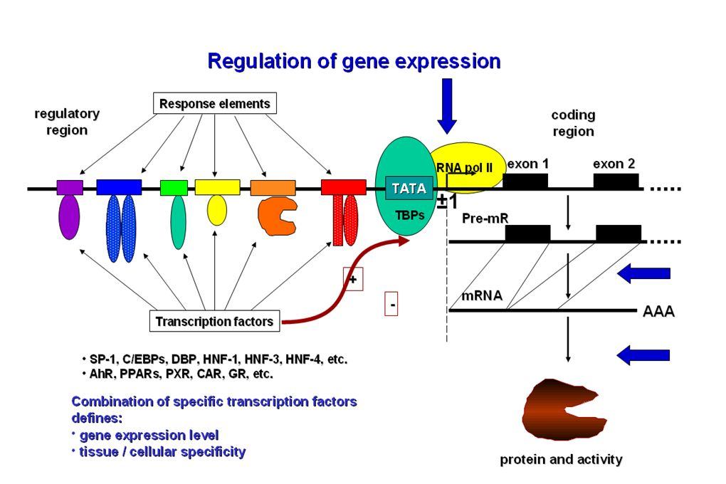 CAR and PXR regulate genes involved in biotransformation and clearance of widely used anticancer drugs MRP1 Arsenic trioxide, chlorambucil, daunorubicin, doxorubicin, epirubicin, etoposide, melphalan, methotrexate, mitoxantrone, paclitaxel, vinblastine, vincristine MRP2 Cisplatin, irinotecan doxorubicin, etoposide, methotrexate, SN-38, vinblastine, vincristine MRP3 Carboplatin, cisplatin, doxorubicin, epirubicin, etoposide, methotrexate, teniposide, vinblastine, vincristine BCRP Imatinib, methotrexate, mitoxantrone, SN-38, topotecan CYP2A6 cyclophosphamide, ifosmamide, flutamine, tegafur CYP2B6 altretamine, cyclophosphamide, ifosmamide, tomoxifen CYP2C8 cyclophosphamide, docetaxel, ifosmamide, paclitaxel, tegafur, tretinoin CYP3A4/5 Bexarotene, busulfan, cisplatin, cyclophosphamide, cytarabine, dexamethasone, docetaxel, doxorubicin, erlotinib, etoposide, exemestane, flutamide,fulvestrant, gefitinib, ifosfamide, imatinib, irinotecan, letrozole, medroxyprogresterone acetate, mitoxantrone, paclitaxel, tamoxifen, targretin, teniposide, topotecan, toremifene, tretinoin, vinblastine, vincristine, vindesine, vinorelbine UGT doxorubicine, epirubicin, etoposide, irinotecan, topotecan, tamoxifen SULT tamoxifen GST busulfan, chlorambucil, cyclophosphamide, doxorubicin, ifosphamide, melphalan, nitrosurea