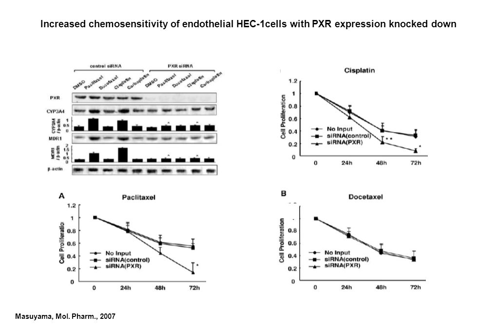 Increased chemosensitivity of endothelial HEC-1cells with PXR expression knocked down Masuyama, Mol. Pharm., 2007