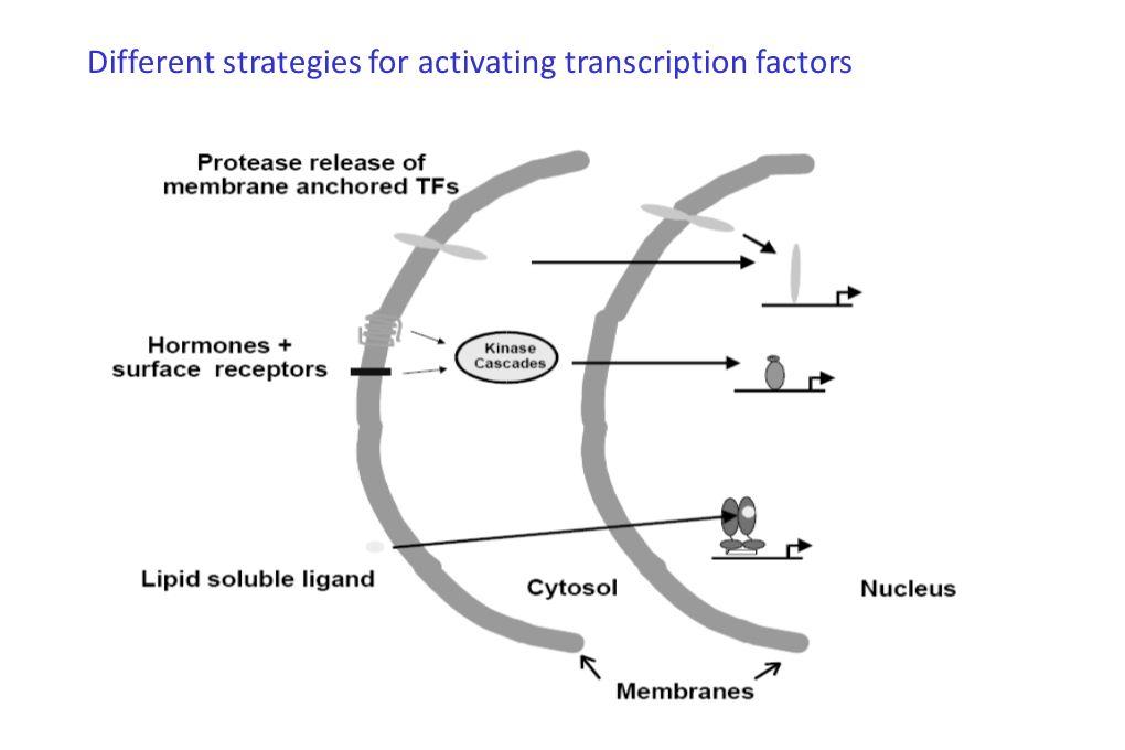 Schéma de lhétérodimère CAR-RXR ou PXR-RXR en présence de leurs ligands et différentes organisations des HREs.