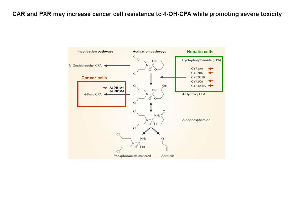 Hepatic cells Cancer cells CAR and PXR may increase cancer cell resistance to 4-OH-CPA while promoting severe toxicity