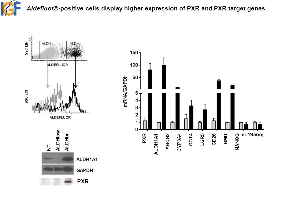 Aldefluor®-positive cells display higher expression of PXR and PXR target genes PXR ALDH1A1 ABCG2 CYP3A4 OCT4 LGR5 CD26 BMI1 NANOG PXR