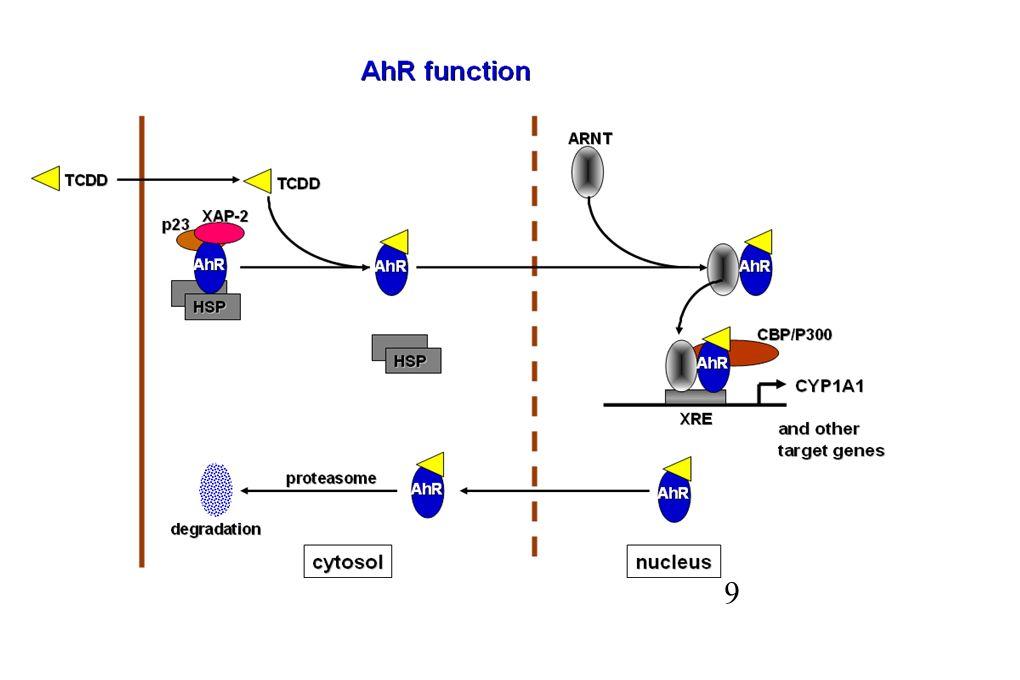 CYP3A4 (DR3, ER6) CYP2B6 (DR4) CYP2C9 (DR4) SULT2A1 (IR0) PXR RXR VDR RXR RXRCAR NRE Thummel et al.