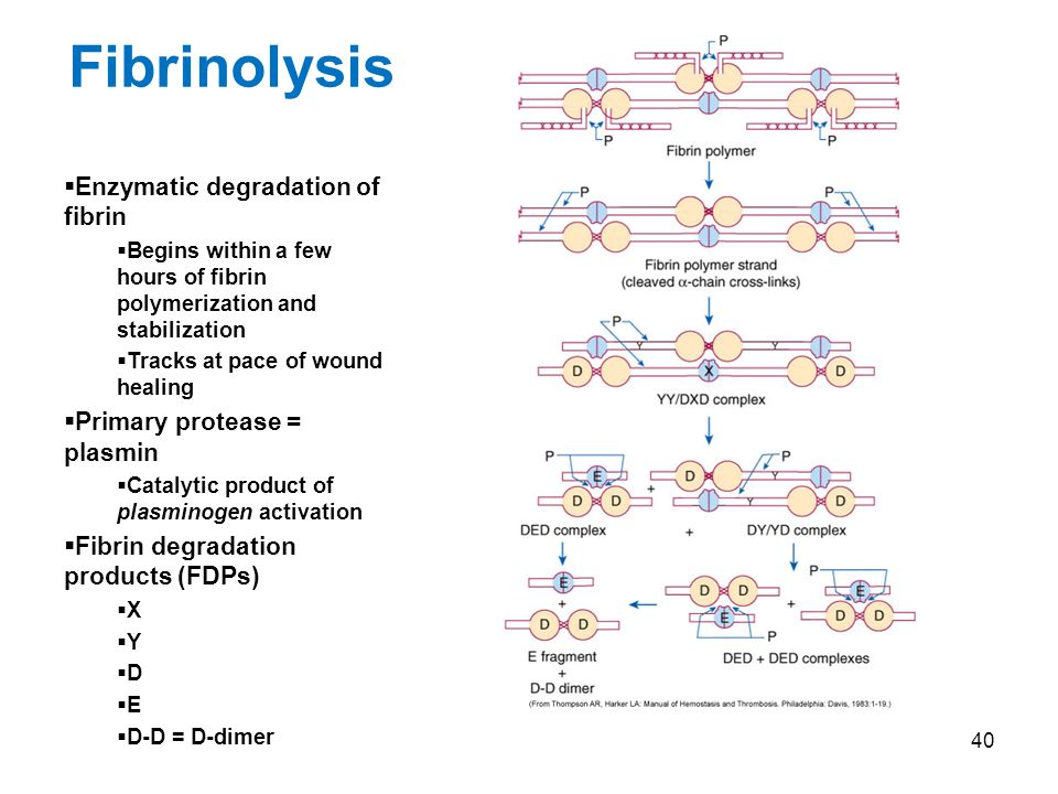 40 Fibrinolysis Enzymatic degradation of fibrin Begins within a few hours of fibrin polymerization and stabilization Tracks at pace of wound healing Primary protease = plasmin Catalytic product of plasminogen activation Fibrin degradation products (FDPs) X Y D E D-D = D-dimer