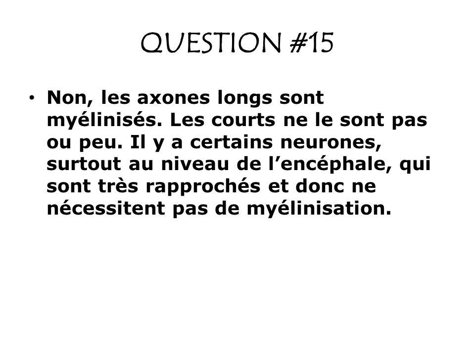 QUESTION #15 Non, les axones longs sont myélinisés. Les courts ne le sont pas ou peu. Il y a certains neurones, surtout au niveau de lencéphale, qui s