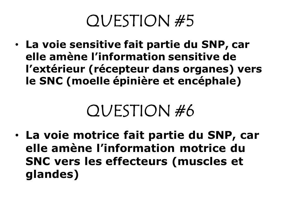QUESTION #5 La voie sensitive fait partie du SNP, car elle amène linformation sensitive de lextérieur (récepteur dans organes) vers le SNC (moelle épi