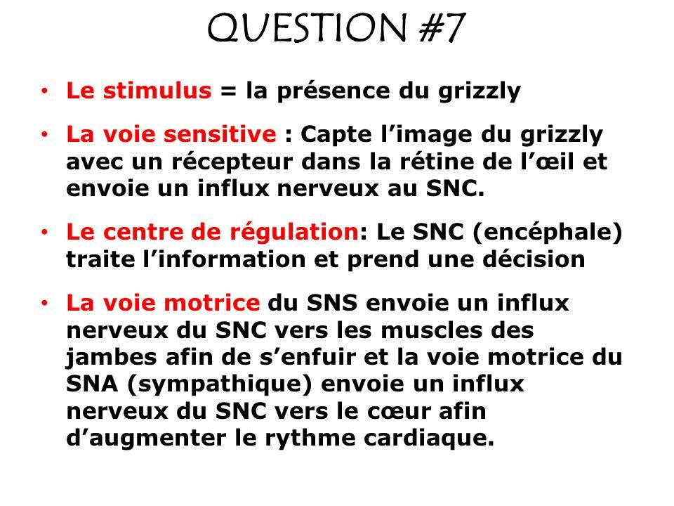 QUESTION #7 Le stimulus = la présence du grizzly La voie sensitive : Capte limage du grizzly avec un récepteur dans la rétine de lœil et envoie un inf
