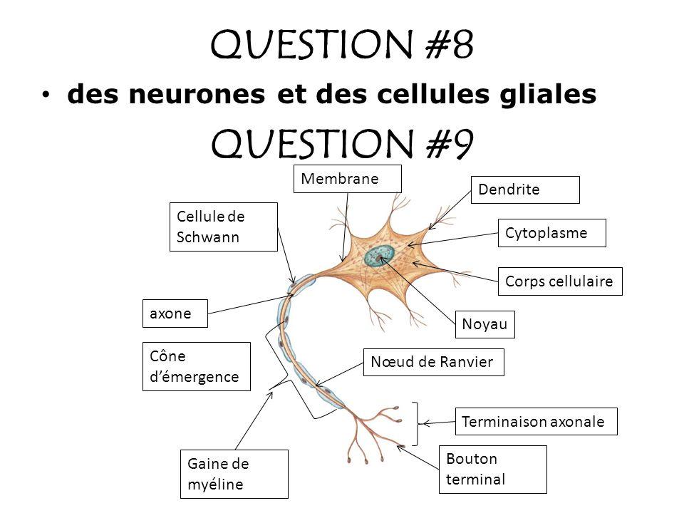 QUESTION #10 TYPE DE NEURONE SE SITUE OÙ DANS LE SN*.