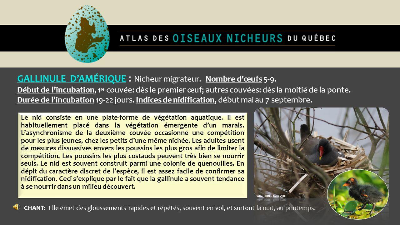 GALLINULE DAMÉRIQUE : Nicheur migrateur. Nombre dœufs 5-9. Début de lincubation, 1 re couvée: dès le premier œuf; autres couvées: dès la moitié de la