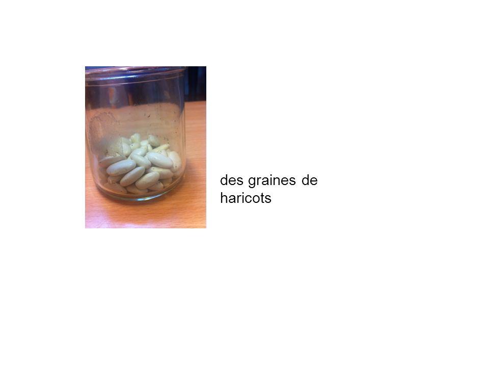 des graines de haricots