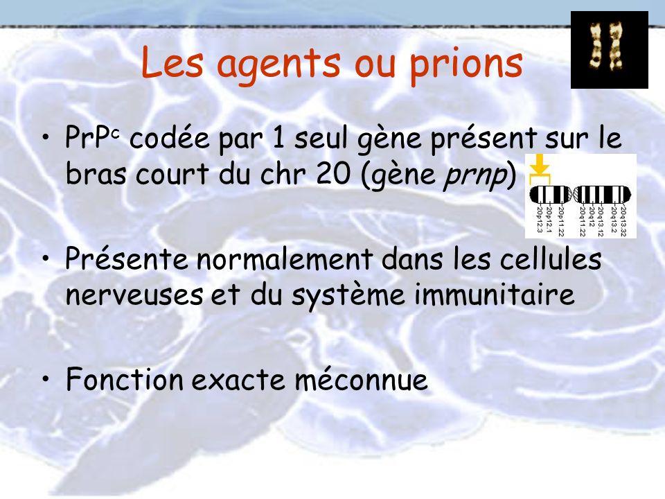 Les agents ou prions PrP c codée par 1 seul gène présent sur le bras court du chr 20 (gène prnp) Présente normalement dans les cellules nerveuses et d