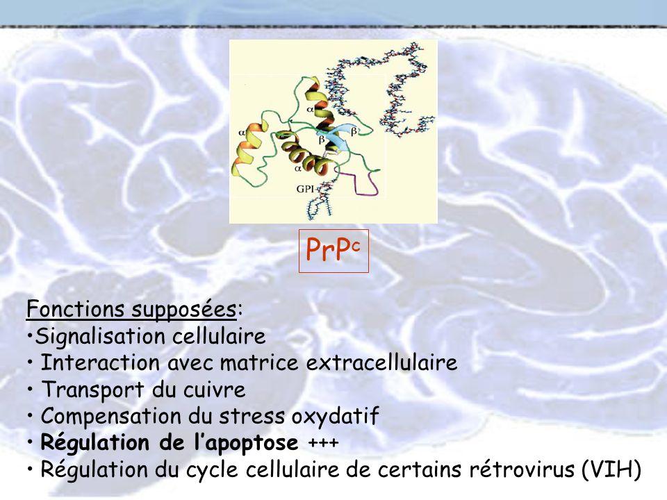 PrP c Fonctions supposées: Signalisation cellulaire Interaction avec matrice extracellulaire Transport du cuivre Compensation du stress oxydatif Régul