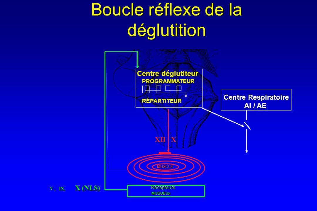 Boucle réflexe de la déglutition MUQUEUx MUSCLE PROGRAMMATEURRÉPARTITEUR Centre déglutiteur XII X XII X V, IX, X (NLS) Récepteurs Centre Respiratoire