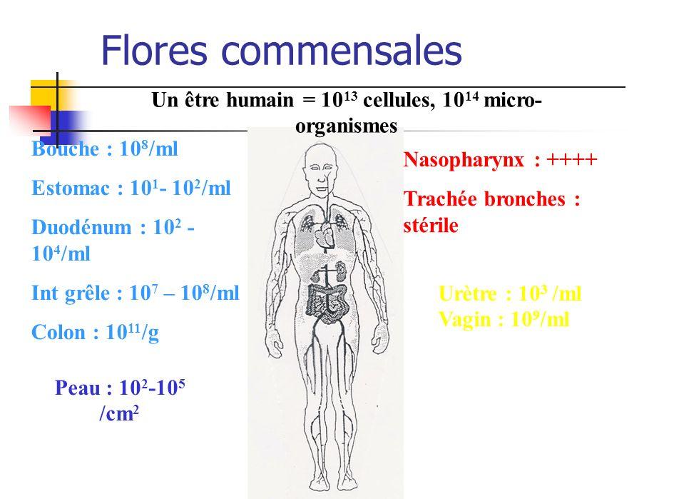 Flores commensales Un être humain = 10 13 cellules, 10 14 micro- organismes Bouche : 10 8 /ml Estomac : 10 1 - 10 2 /ml Duodénum : 10 2 - 10 4 /ml Int