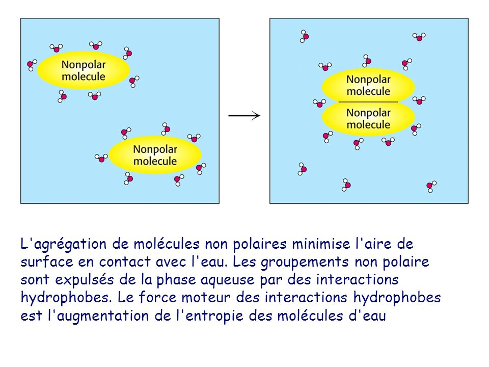 L'agrégation de molécules non polaires minimise l'aire de surface en contact avec l'eau. Les groupements non polaire sont expulsés de la phase aqueuse