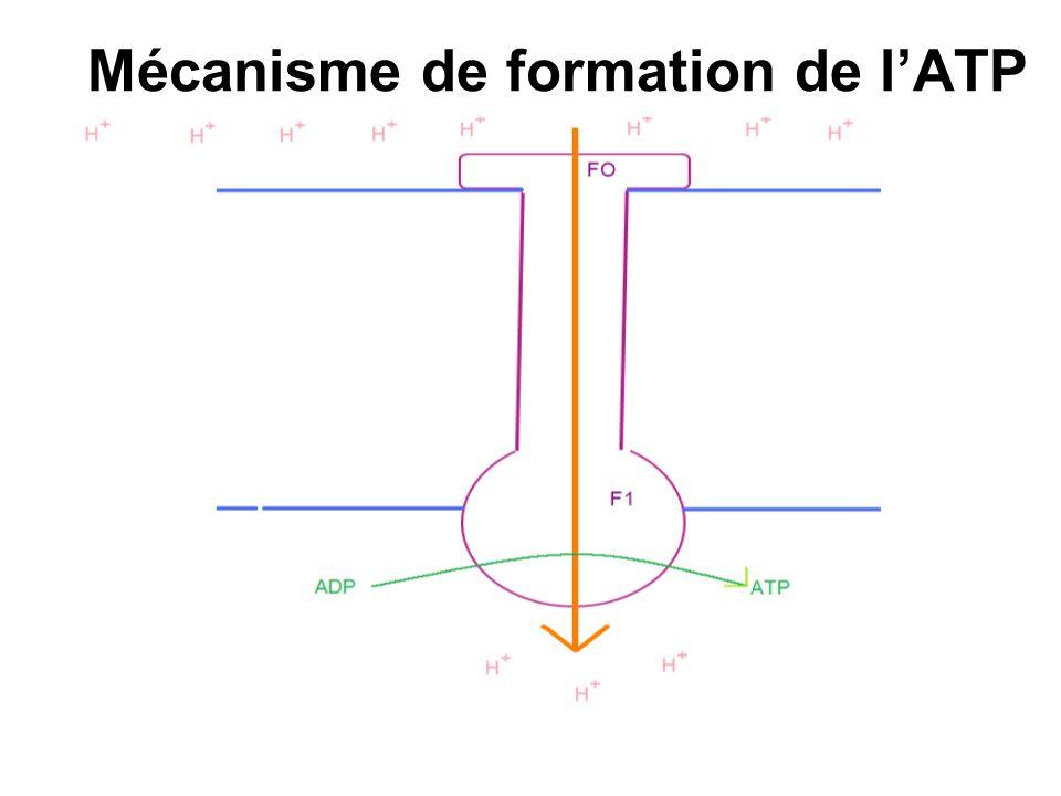 Mécanisme de formation de lATP