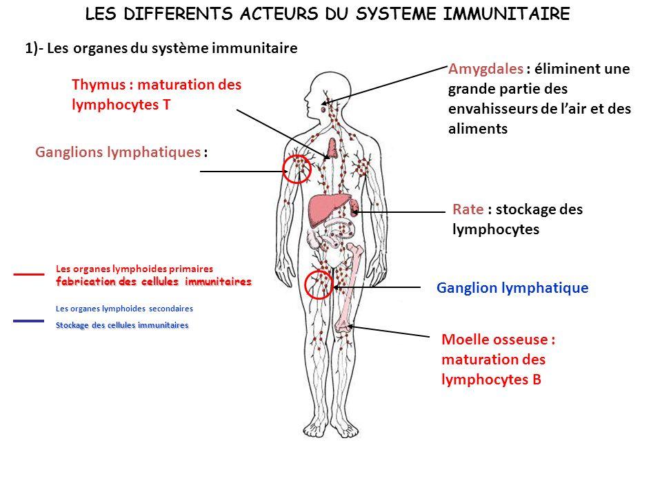 LES DIFFERENTS ACTEURS DU SYSTEME IMMUNITAIRE 1)- Les organes du système immunitaire Moelle osseuse : maturation des lymphocytes B Rate : stockage des