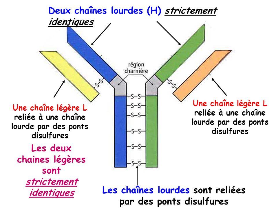 Deux chaînes lourdes (H) strictement identiques Les chaînes lourdes sont reliées par des ponts disulfures Une chaîne légère L reliée à une chaîne lour