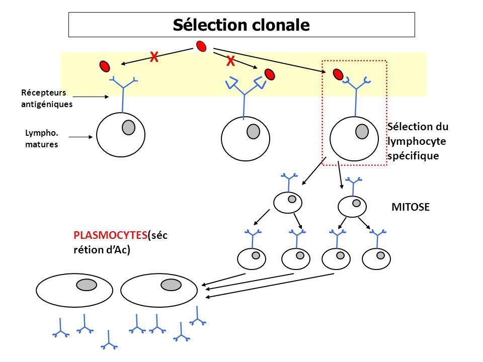 Sélection clonale Lympho. matures Récepteurs antigéniques X X MITOSE PLASMOCYTES(séc rétion dAc) Sélection du lymphocyte spécifique