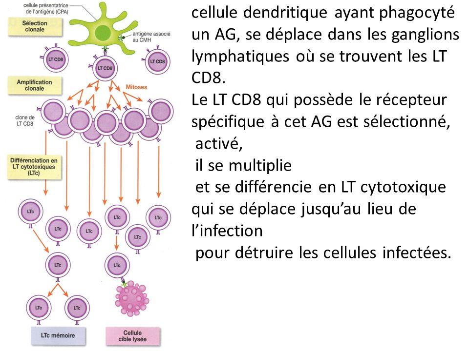cellule dendritique ayant phagocyté un AG, se déplace dans les ganglions lymphatiques où se trouvent les LT CD8. Le LT CD8 qui possède le récepteur sp
