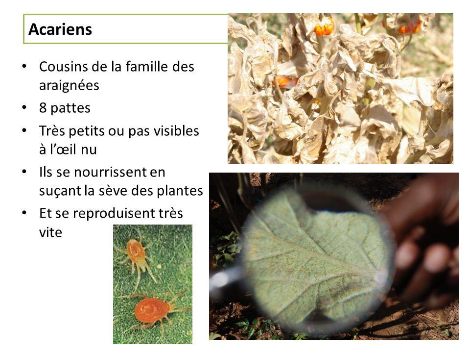 Acariens Cousins de la famille des araignées 8 pattes Très petits ou pas visibles à lœil nu Ils se nourrissent en suçant la sève des plantes Et se reproduisent très vite