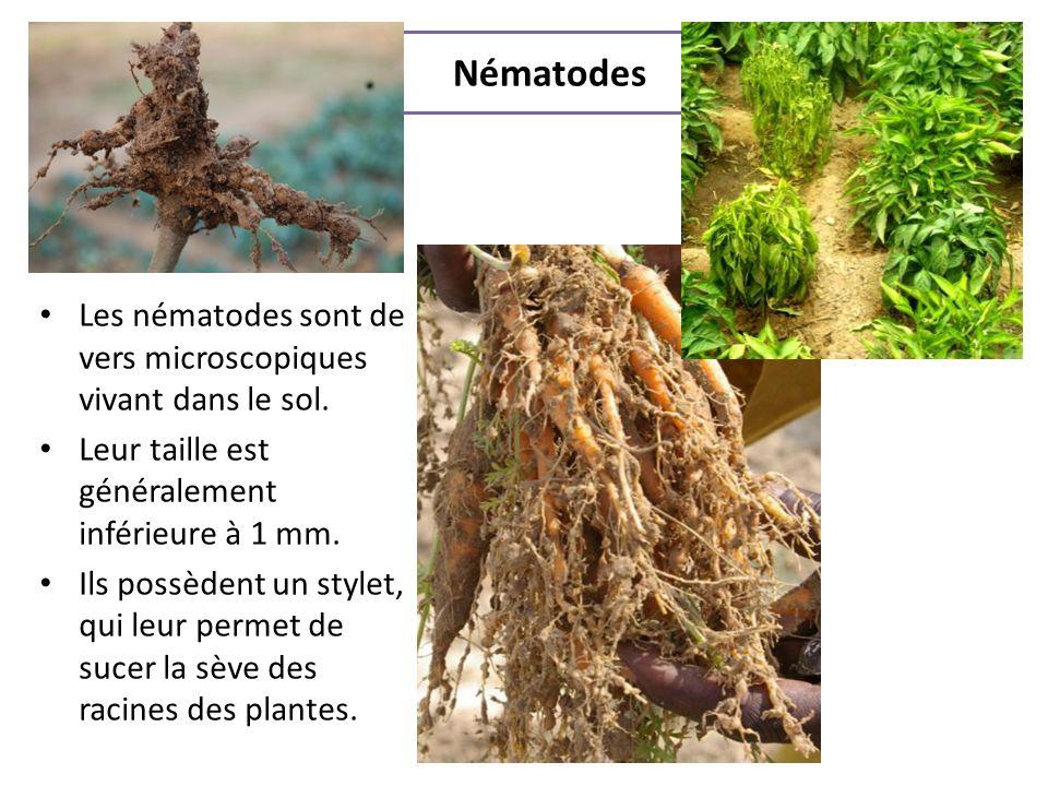 Nématodes Les nématodes sont de vers microscopiques vivant dans le sol. Leur taille est généralement inférieure à 1 mm. Ils possèdent un stylet, qui l