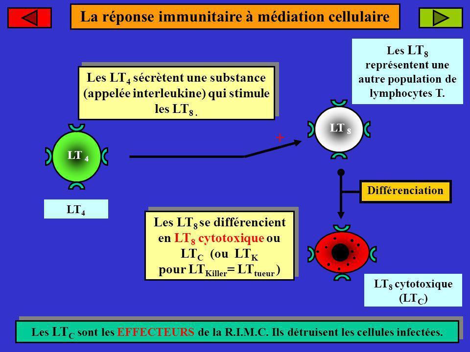 LT 8 LT 8 cytotoxique (LT C ) Les LT 4 sécrètent une substance (appelée interleukine) qui stimule les LT 8. Les LT 4 sécrètent une substance (appelée