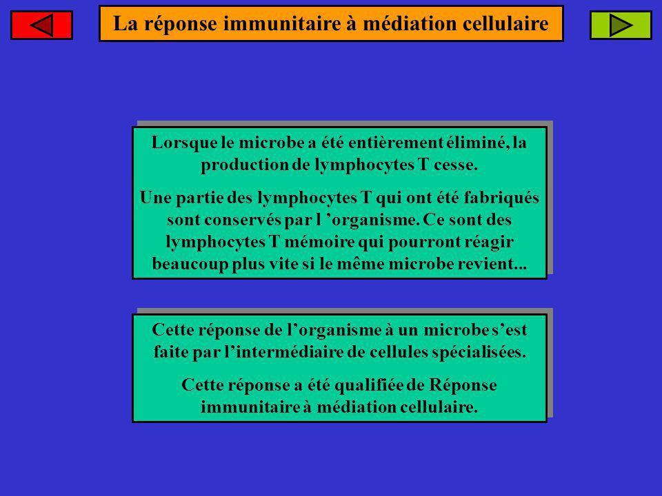 Lorsque le microbe a été entièrement éliminé, la production de lymphocytes T cesse. Une partie des lymphocytes T qui ont été fabriqués sont conservés