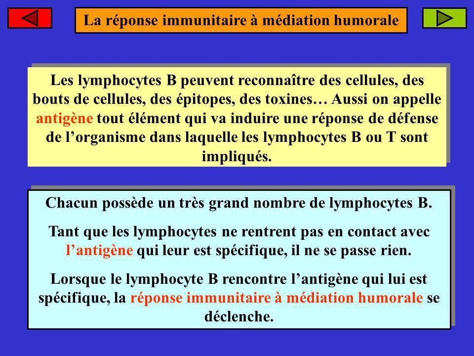 Chacun possède un très grand nombre de lymphocytes B. Tant que les lymphocytes ne rentrent pas en contact avec lantigène qui leur est spécifique, il n