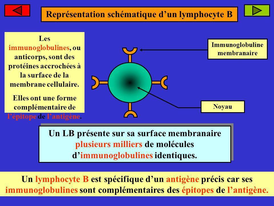 Représentation schématique dun lymphocyte B Immunoglobuline membranaire Noyau Un LB présente sur sa surface membranaire plusieurs milliers de molécule