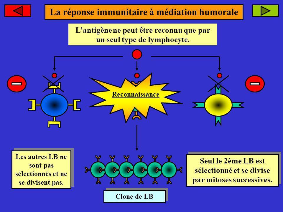 antigène. Lantigène ne peut être reconnu que par un seul type de lymphocyte. Clone de LB Clone de LB Seul le 2ème LB est sélectionné et se divise par