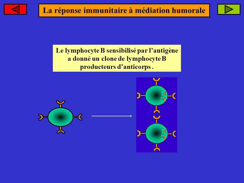 Le lymphocyte B sensibilisé par lantigène a donné un clone de lymphocyte B producteurs danticorps. La réponse immunitaire à médiation humorale
