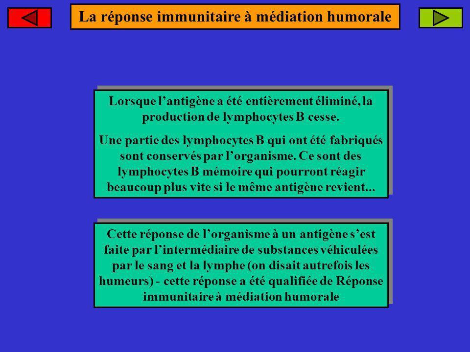 Lorsque lantigène a été entièrement éliminé, la production de lymphocytes B cesse. Une partie des lymphocytes B qui ont été fabriqués sont conservés p
