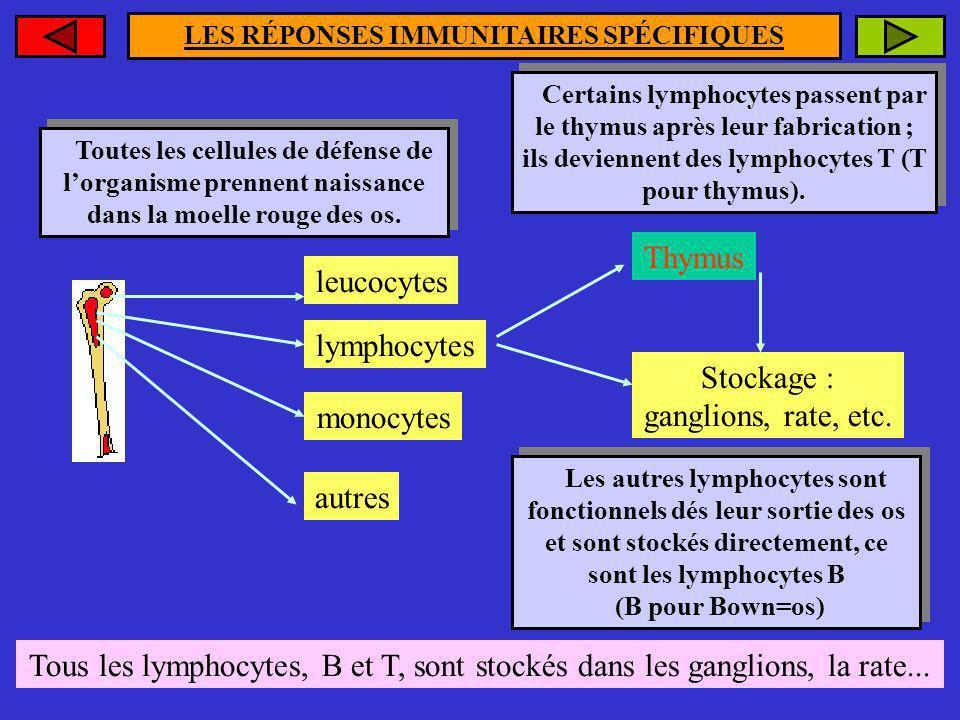 LES RÉPONSES IMMUNITAIRES SPÉCIFIQUES Toutes les cellules de défense de lorganisme prennent naissance dans la moelle rouge des os. Toutes les cellules