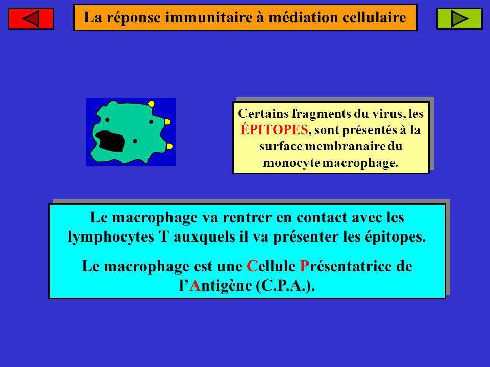 La réponse immunitaire à médiation cellulaire Certains fragments du virus, les ÉPITOPES, sont présentés à la surface membranaire du monocyte macrophag