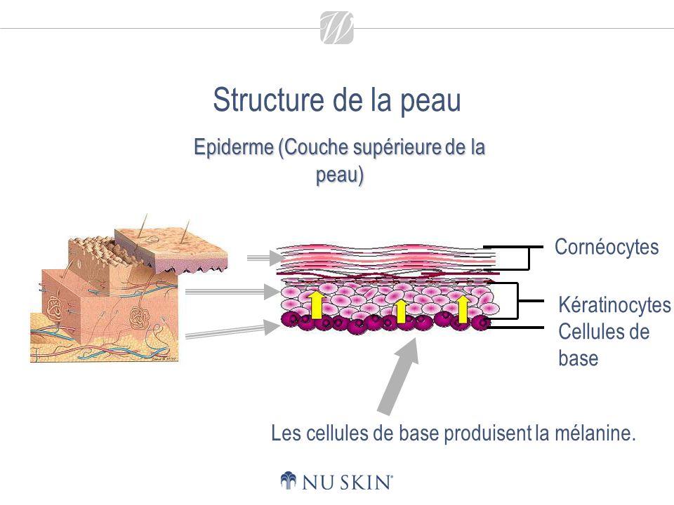 Structure de la peau Cornéocytes Kératinocytes Cellules de base Les cellules de base produisent la mélanine.