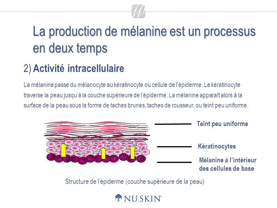 La production de mélanine est un processus en deux temps 2) Activité intracellulaire La mélanine passe du mélanocyte au kératinocyte ou cellule de lépiderme.