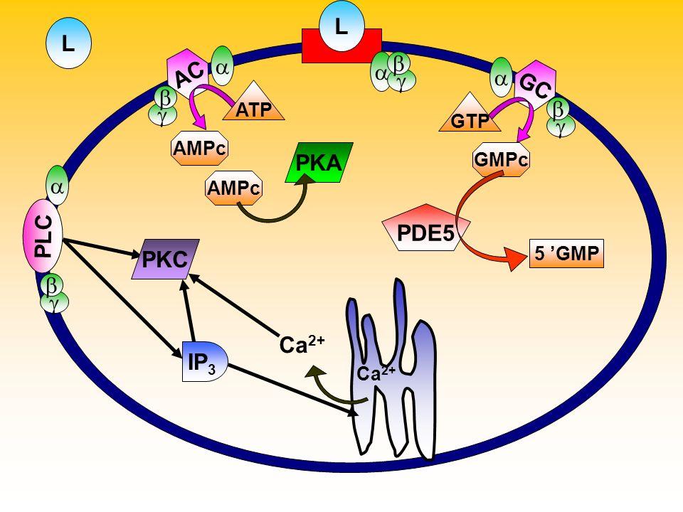 L GC GTP GMPc PDE5 5 GMP AC L ATP AMPc PLC Ca 2+ AMPc PKA IP 3 PKC Ca 2+