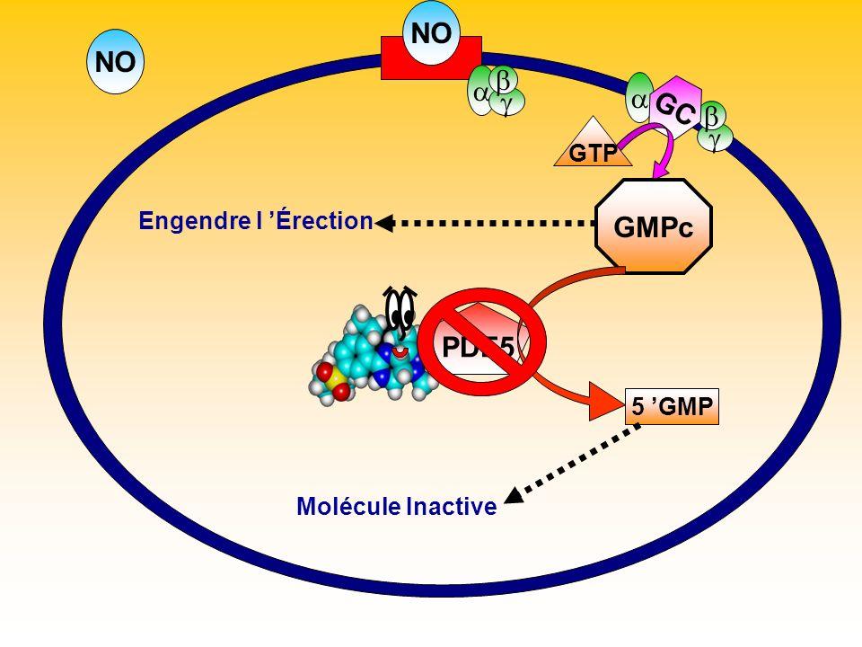 NO GC GTP GMPc Engendre l Érection PDE5 5 GMP Molécule Inactive